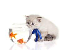 小的小猫和金鱼 库存图片