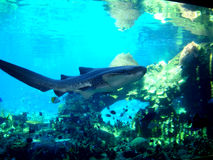 在水族馆的斑马鲨鱼 澳洲 免版税库存照片