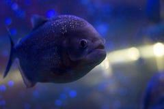 在水族馆的比拉鱼 与发光的标度的鱼 危险鱼 bright light 免版税库存照片