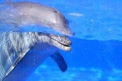 在水族馆的海豚 免版税库存图片