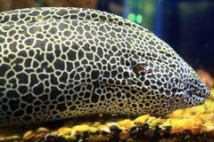 在水族馆的海鳝 库存图片