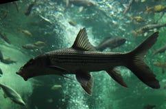 在水族馆的淡水鱼 库存照片