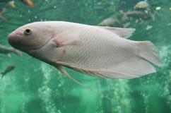 在水族馆的淡水鱼 免版税库存图片