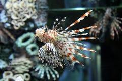 在水族馆的狮子鱼 免版税库存图片