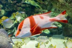 在水族馆的皇帝红鲷鱼 免版税库存照片