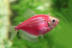 在水族馆的红色Glo鱼 库存照片