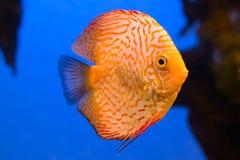 在水族馆的美丽的橙色diskus鱼 免版税库存照片
