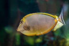 在水族馆的美丽的黄色鱼 免版税库存图片