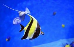 在水族馆的美丽的bannerfish 库存图片