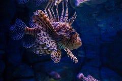 在水族馆的蓑鱼Pterois 免版税库存照片