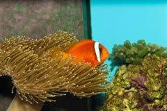 在水族馆的蕃茄Clownfish 库存照片