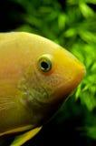 在水族馆的金子Severum南美丽鱼科鱼 免版税库存照片
