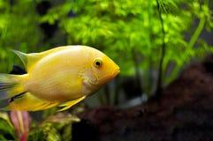 在水族馆的金子Severum南美丽鱼科鱼 库存图片