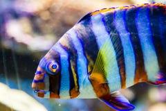 在水族馆的镶边明亮热带鱼 免版税库存照片