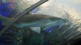 在水族馆的鲨鱼 股票视频