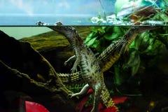 在水族馆的鳄鱼小狗 免版税图库摄影