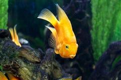 在水族馆的鹦鹉鱼 免版税库存图片