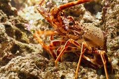 在水族馆的龙虾 库存图片