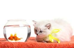 滑稽的小猫和金鱼 免版税图库摄影
