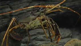 在水族馆的滑稽的龙虾 影视素材