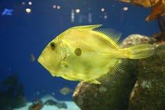 在水族馆的黄色鱼 库存照片