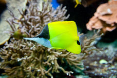 在水族馆的黄色鱼 免版税库存照片