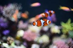 在水族馆的Nemo鱼背景的 免版税库存照片