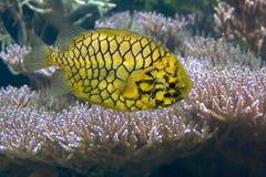 在水族馆的Pinecone海水鱼 免版税库存图片