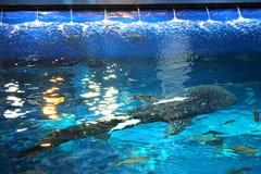 在水族馆观点的鲸鲨上 库存照片