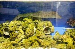 在水族馆玻璃桶的海鳝游泳 图库摄影