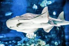在水族馆- Tropicarium,布达佩斯的鲨鱼 免版税库存照片