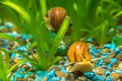 在水族馆Ampularia的两只大蜗牛 库存照片