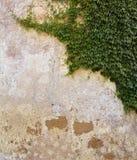 在更旧的墙壁上的常春藤 免版税库存图片