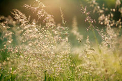 在黎明阳光,自然背景的新夏天领域 免版税库存照片