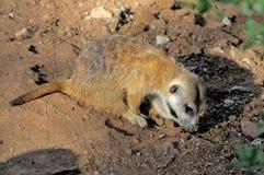 在黄昏太阳的Meerkat 库存图片