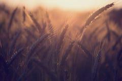 在黄昏或日出的Wheatfield 库存图片