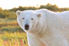在黄昏特写镜头的北极熊 免版税库存照片