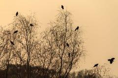 在黄昏的乌鸦 免版税图库摄影