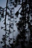 在黄昏的啜泣的日本落叶松属杉树 免版税图库摄影