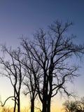 在黄昏的树在印第安纳 免版税库存照片
