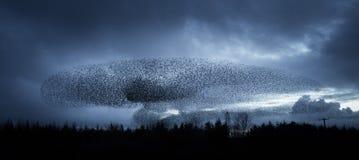 在黄昏的椋鸟 库存照片