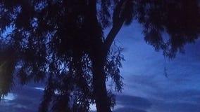 在黄昏的玉树 库存图片