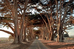 在黄昏的美丽的柏树隧道 免版税库存照片
