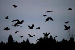 在黄昏的鸟飞行 库存图片