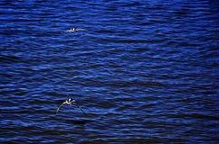 在黄昏的Turtledoves飞行 免版税图库摄影