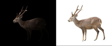 在黑暗和白色背景的肉猪鹿 免版税库存图片
