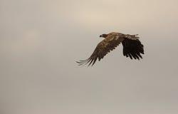 在阴暗天空的白被盯梢的老鹰 库存图片