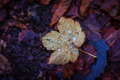 在黑暗的土壤的单独秋天叶子 图库摄影