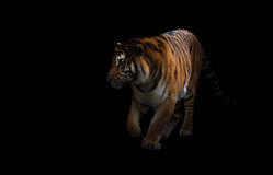 在黑暗的孟加拉老虎 免版税库存照片