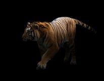 在黑暗的孟加拉老虎 库存照片